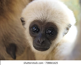A baby lar gibbon ape, Hylobates lar. has switched off from sucking his mother and is looking at camera. A young monkey has big dark expressive eyes, childly-looking snout and attractive white fur.