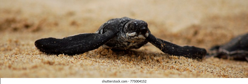 Baby Leatherback (Dermochelys coriacea) in Sea Turtle Conservation Camp in Oaxaca, Mexico