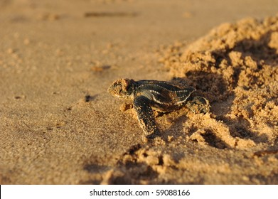 Baby Leatherback sea turtle crawling up the beach in order to reach the ocean