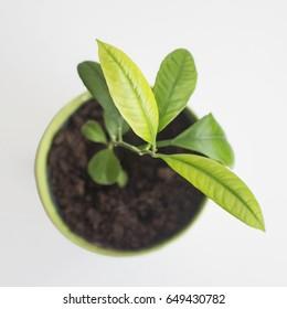 baby lemon tree