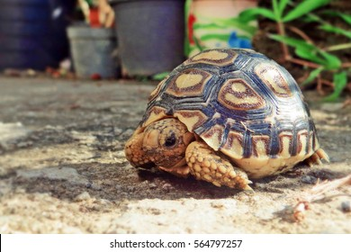 Baby Leopard tortoise sunbathe on ground with his protective shell ,cute animal pictures make you smile ,Beautiful Baby Tortoise