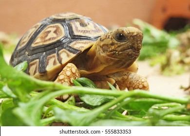 Baby Leopard tortoise walking slowly and sunbathe on ground with his protective shell ,cute animal pictures make you smile , tortoise eating vegetable