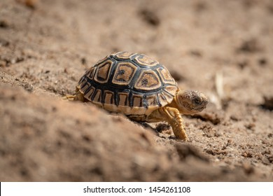 Baby leopard tortoise walks down sandy slope
