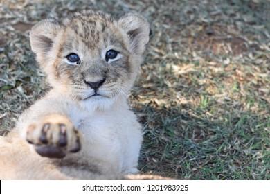 Baby Lion looking at Camera