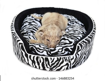 baby lion lying on  mattress isolated on white background
