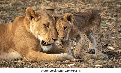 Baby lion rubbs heads together with lioness