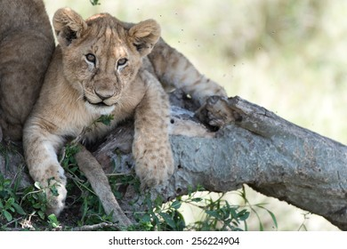 baby lion in a tree