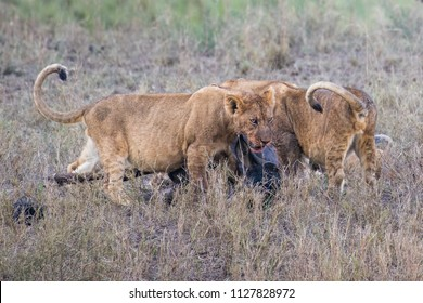 Baby lions eating prey gnu
