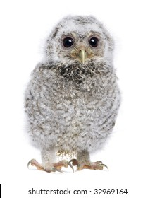 Baby Little Owl - Athene noctua (4 weeks old) in front of a white background