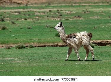 Baby llama walking on the green field in the Andes mountains