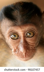 A baby long-tailed macaque monkey in the Philippines