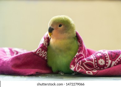 Baby Lovebird ready to sleep
