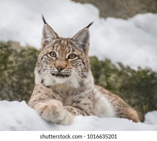 Baby lynx. Lynx live in dense forests, in the taiga, steppe and tundra. The lynx is perfectly able to climb trees and rocks, floats well.