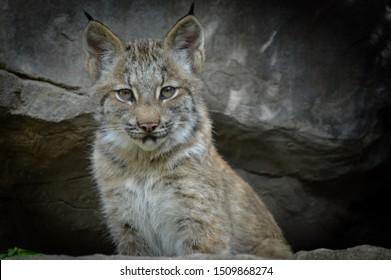 A baby lynx in the outdoors