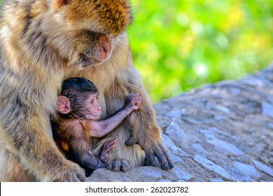 Baby macaque and his caring mother siting on a rock/Baby Macaque and his mummy/Gibraltar, Europe