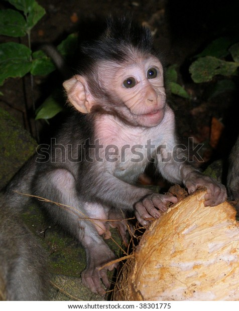 Baby Macaque Holding Coconut Stock Photo (Edit Now) 38301775