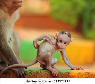 Baby Macaque India (Banyan Tree Troop)
