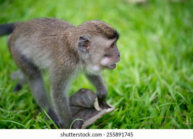 Baby macaque monkey looking for fdod in Bako national park in Borneo, Malaysia