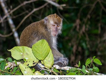Baby Macaque Monkeys in the trees along the Kinabatangan River in Borneo