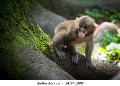 Baby macaque on the tree root