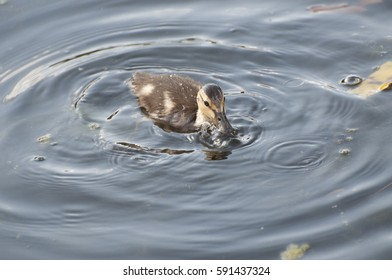 A baby Mallard duck swims in the pond at McLane Creek Trail in Olympia, WA, USA.