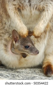 Baby Mareeba Rock Wallaby peering out of it's mothers pouch