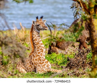Baby Massai Giraffe calf, two weeks old, hiding amongst the vegetation for safety & security, while mother feeds nearby. Crescent Island Game Sanctuary, Lake Naivasha, Kenya.