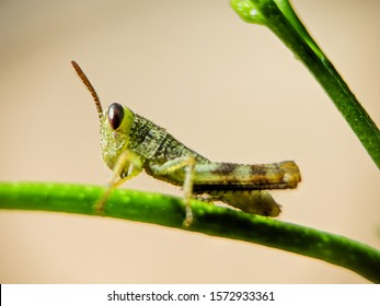 baby meadow grasshopper perched on a tree branch