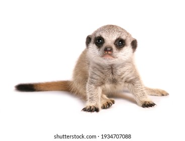 Baby Meerkat in a studio isolated on a white background