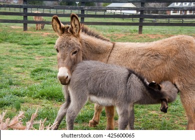Baby Mini Donkey Feeding from Mother