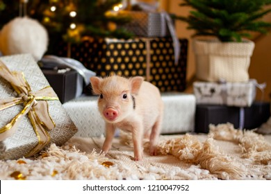 A baby mini-pig under a Christmas Tree with presents, symbolizing the upcoming 2019 New Year (Year of a Pig)