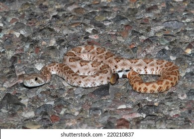 Baby Mojave Rattlesnake (Crotalus scutulatus). The Mojave Rattlesnake is considered by many to be the most deadly snake in the United States.