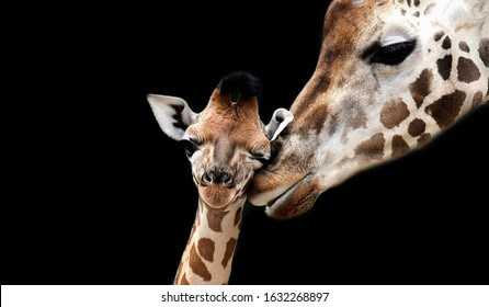 Baby And Mom Giraffe Playing