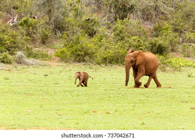 Baby and mommy elephant running to the dam to join the other elephants.