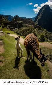 Baby and mommy llamas at the beautiful Inca ruin of Machu Picchu located in the Cusco Region, Urubamba Province, Peru. Sitting above above the Sacred Valley near Agua Calientes.