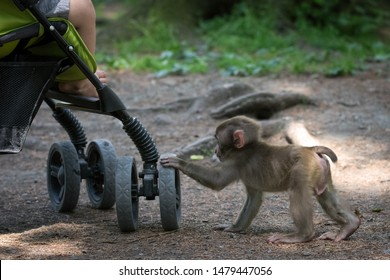 Baby monkey by the human baby stroller, baby foot is seen