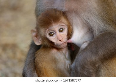 Baby monkey drinking milk from his mother