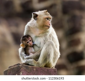 Baby monkey eating milk from the mother