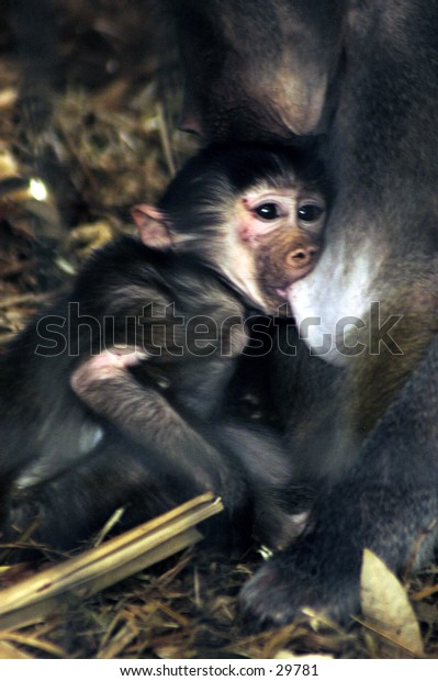 Baby monkey feeding on mothers breast.