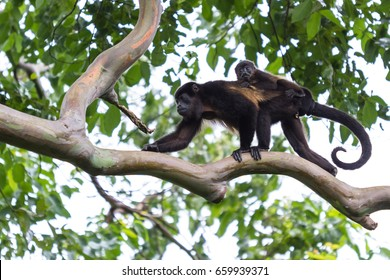 Baby monkey holding on to his moms back as the maneuvers thru the jungle in Costa Rica