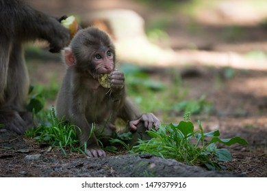 Baby monkey, japanese macaque, sitting  and eating apple in tree shade on a summer day