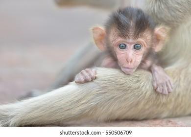 baby monkey with mother monkey
