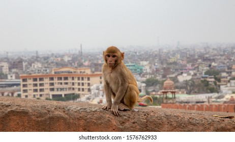 A baby monkey on a wall in Jaipur, India