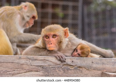 baby monkey and other monkeys living in wild at monkey temple in Kathmandu Nepal