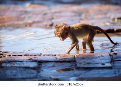 Baby monkey play in water