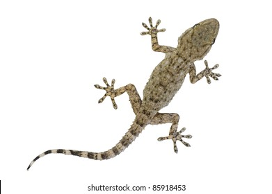 """A baby Moorish gecko, also called the wall gecko (""""Tarentola mauritanica"""") isolated on white."""