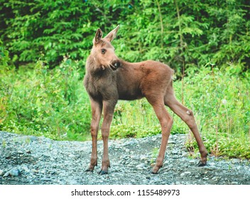 Baby Moose poses on gravel path in Soldotna, Alaska