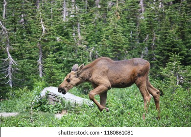 Baby Moose Ventures away from Mother's Side