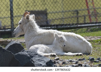 Baby and mother Dall sheep