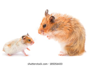 Baby and mother hamster isolated on white